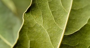 Sebat Rose Oil and Essential Oils Laurel Leaf