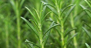 Sebat Rose Oil and Essential Oils Rosemary